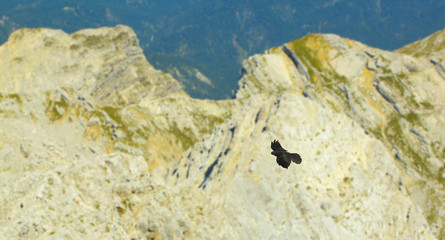 Flying Chough with rocks on background