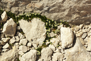 Detailed view of a limestone with blossoms of stonecrop