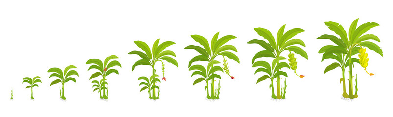Crop cycle for banana tree. Crop stages bananas palm. Vector Illustration growing plants. Harvest growth biology. Musa acuminata cultivars.