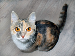 Сute tricolor cat with bright orange eyes sits on the floor. Expressive look.