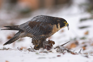 View of a peregrine falcon standing on the snow in the winter forest with feathers of its prey