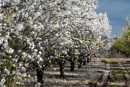 Almond gardens, Almond orchard in bloom, Judea plains Israel