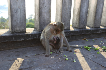 Mother monkey with Monkey baby in park.