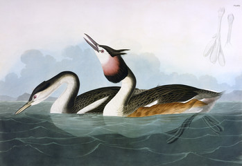 Crested Grebe, by John James Audubon