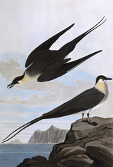 Arctic Yager, by John James Audubon