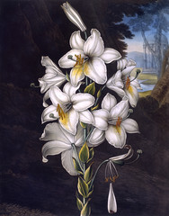 The WhiTe Lily wiTh VariegaTed Leaves