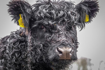 a small Galloway cow