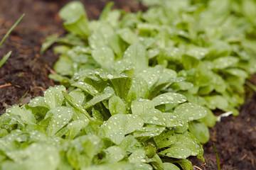 Feldsalat in einem Beet nach einem Regen mit Regentropfen auf den Blättern