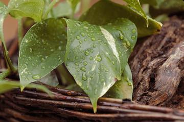 Blatt einer Pflanze in einem braunen Korb im Regen mit Regentropfen