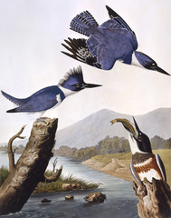Belted Kingfisher, by John James Audubon
