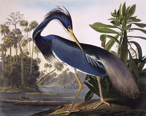 Louisiana Heron, by John James Audubon