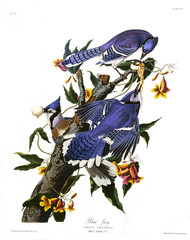 Blue Jay, by John James Audubon