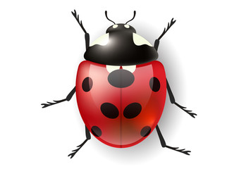 Fototapeta Realistic ladybug from top view. Vector illustration for nature design with bug obraz