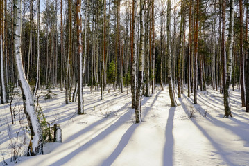 Long shadows in the winter forest with snow-covered trees on a bright Sunny day.