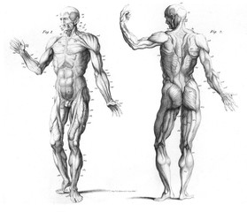 The Muscular SysTem of The Human Body