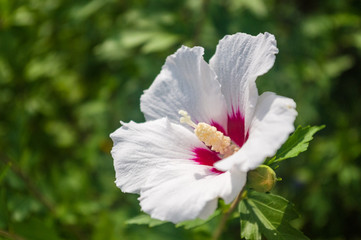 Bright Hibiscus flower blooming in the tropical garden, in soft focus on natural green bokeh background
