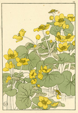 Kingcup or Marsh Marigold