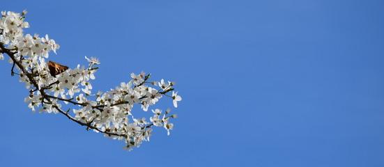 Ast einer Zierkirsche mit weißen Blüten und Schmetterling - Freisteller - Textfreiraum