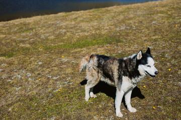 Portrait of a husky dog