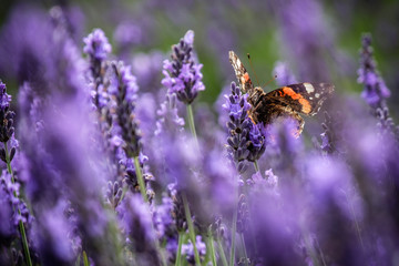 Butterfly on Lavender field