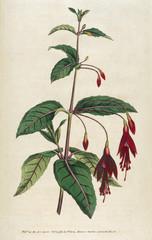Fuchsia Coccinea or Scarlet Fuchsia
