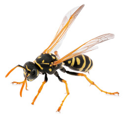macro shot of wasp isolated on white background. Close up of wasp insect. Full depth of field.