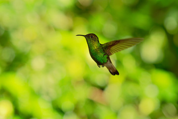Coppery-headed Emerald - Elvira cupreiceps small flying hummingbird endemic to Costa Rica