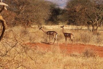 Two giraffe gazelles in the african bushland