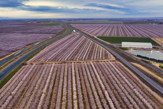 Miles of rows of blooming almond trees planted between and next to Highway 5 in Northern California near Sacramento