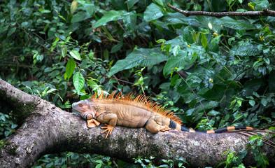 Green iguana (Iguana iguana) near Puerto Viejo de Sarapiqui, Costa Rica. Wall mural