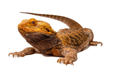 Angry Bearded Dragon silhouette