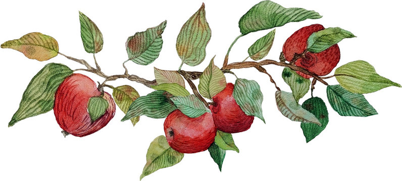 watercolor apple branch ornament isolated
