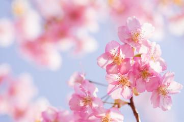 日本の春 さくら