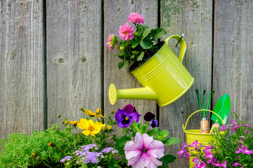 Seedlings of garden plants and flowers for planting on a flowerbed. Hanging watering can with pink Dahlia flower on old wooden wall of garden shed.
