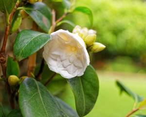 small  white Camelia flower closeup in evergreen garden, blurred background