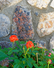 red rose plant on blurrde stonewall background
