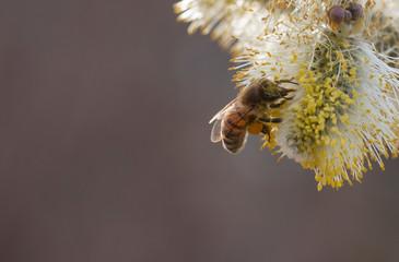 salix cinerea - grey willow