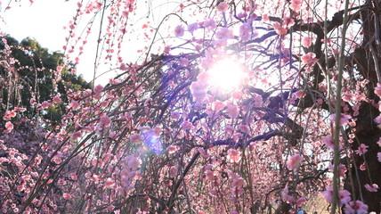 晴れた日のしだれ梅園 農業センター 逆光