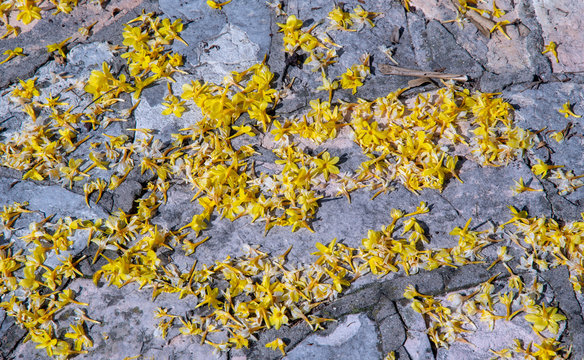 Close-up of a grey stone pavement covered with yellow flowers of winter jasmine (Jasminum nudiflorum) fallen on the floor after a storm, Sirmione, Lombardy, Italy