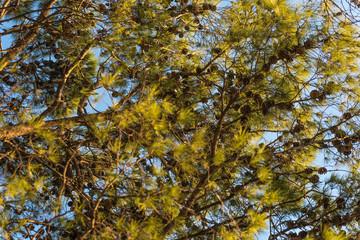Beautiful pine trees against the blue sky on the Mediterranean coast of Croatia