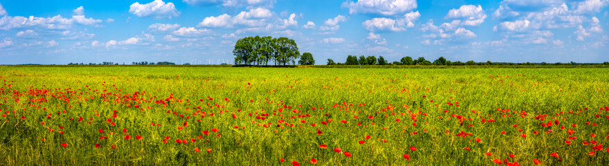 Spring spirit at red field of poppies and beautiful nature in panorama under blue sky, countryside
