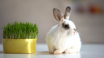 Adorable fluffy bunny sitting on table near green plant, herbal pet nutrition