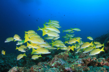 Coral reef and fish in Thailand