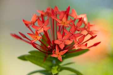 Beautiful red flowers of the plant Ixora chinensis in natural light.