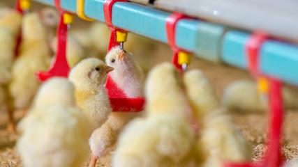 Little yellow chicken chicks in feeding water
