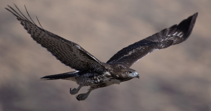 A red-tailed hawk soars near Susanville, California