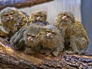 Satisfied family with cubs, Pygmy marmoset, Callithrix pygmaea niveiventris,