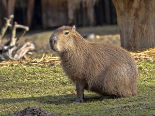 The largest rodent, Capybara, Hydrochoerus hydrochaeris