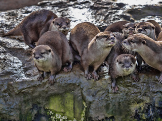 The quarrelsome family, Oriental small-clawed otter, Amblonyx cinerea, is very noisy