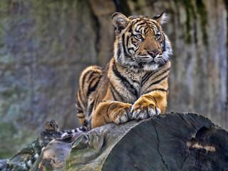 Young female Sumatran Tiger Panthera tigris sumatrae, lying on trunk and looking around
